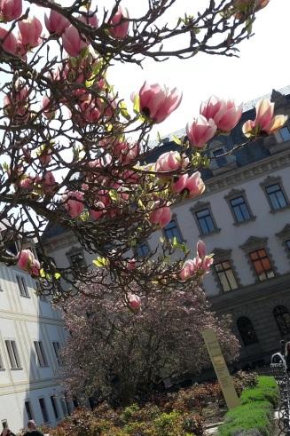 Magnolien vor Schloss Thurn und Taxis
